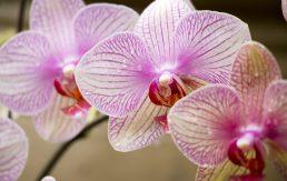Orhideja u ljubavnoj magiji